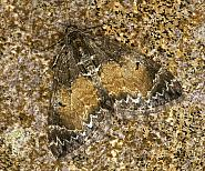 70.097 Common Marbled Carpet, Chloroclysta truncata