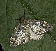 70.097 Common Marbled Carpet, Chloroclysta truncata, Co Louth
