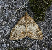 Common Marbled Carpet, Chloroclysta truncata, Co Donegal