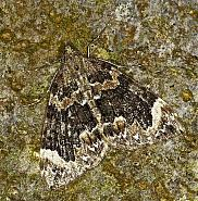 70.098 Dark Marbled Carpet, Chloroclysta citrata, Co Louth