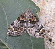 70.098 Dark Marbled Carpet, Chloroclysta citrata, Co Wicklow