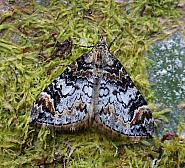 Dark Marbled Carpet, Chloroclysta citrata, Co Leitrim