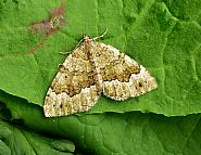 Beech-green Carpet, Colostygia olivata, Co Antrim