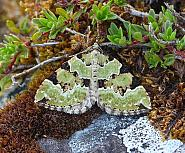 Green Carpet, Colostygia pectinataria, Co Donegal