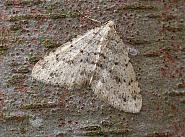 70.101 Mottled Grey, Colostygia multistrigaria, Co. Cork