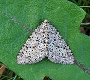 Mottled Grey, Colostygia multistrigaria, Co Donegal