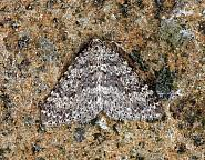 Mottled Grey, Colostygia multistrigaria, Co Leitrim