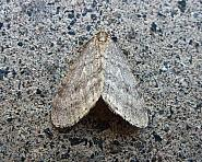 70.105 Northern Winter Moth, Operophtera fagata