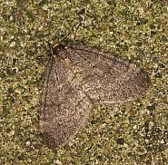 70.106 Winter Moth, Operophtera brumata, Co Louth