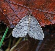 Winter Moth, Operophtera brumata, Co Donegal