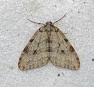 70.108 Pale November Moth, Epirrita christyi