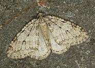 70.108 Pale November Moth, Epirrita christyi, Co Louth