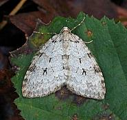 Pale November Moth, Epirrita christyi, Co. Donegal