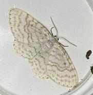 70.111 Small White Wave, Asthena albulata