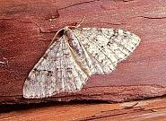 Welsh Wave, Venusia cambrica, Co Antrim