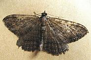 70.119 Dark Umber, Philereme transversata, Co Fermanagh