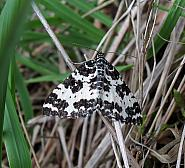 Argent & Sable, Rheumaptera hastata, Co. Donegal