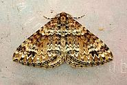70.131 Twin-spot Carpet, Mesotype didymata
