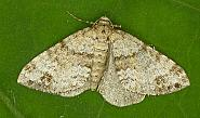 70.131 Twin-spot Carpet, Mesotype didymata, Co. Wicklow