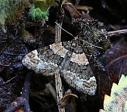 70.139 Barred Carpet, Martania taeniata