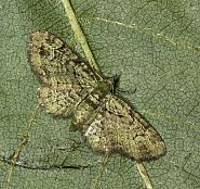 70.144 Green Pug, Pasiphila rectangulata