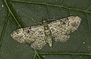 70.144 Green Pug, Pasiphila rectangulata, Co Louth