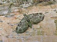 70.144 Green Pug, Pasiphila rectangulata, Co Wicklow