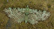 70.144 Green Pug, Pasiphila rectangulata, Co. Wicklow