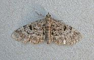 70.149 Cloaked Pug, Eupithecia abietaria, Co Wicklow