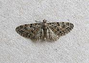 70.157 Oak-tree Pug, Eupithecia dodoneata