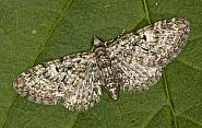 70.157 Oak-tree Pug, Eupithecia dodoneata, Co Louth