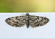 70.157 Oak-tree Pug, Eupithecia dodoneata, Co Leitrim