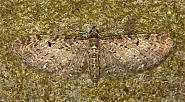 70.161 Golden-rod Pug, Eupithecia virgaureata, Co Louth