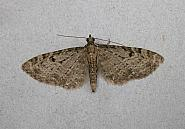 70.161 Golden-rod Pug, Eupithecia virgaureata, Co Wicklow