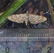 Narrow-winged Pug, Eupithecia nanata, Co Leitrim