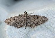 Thyme Pug, Eupithecia distinctaria, Co Donegal