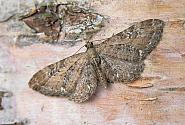 70.183 Common Pug, Eupithecia vulgata, Co Wicklow