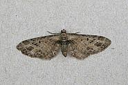 70.184 Mottled Pug, Eupithecia exiguata, Co Wicklow