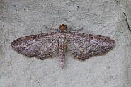 70.189 Shaded Pug, Eupithecia subumbrata, Co Sligo