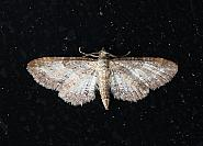 Shaded Pug, Eupithecia subumbrata, Co. Leitrim