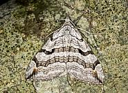 70.192 Treble Bar, Aplocera plagiata