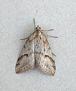 70.196 Broom-tip, Chesias rufata