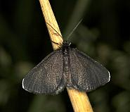 Chimney Sweeper, Odezia atrata, Co Tyrone