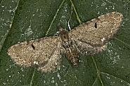 70.182 Currant Pug, Eupithecia assimilata, Co Louth
