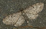 70.19 Grey Pug, Eupithecia subfuscata, Co Louth