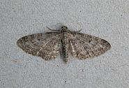 70.19 Grey Pug, Eupithecia subfuscata, Co Wicklow