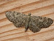 70.19 Grey Pug, Eupithecia subfuscata, Co. Meath