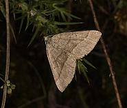July Belle, Scotopteryx luridata, Co Louth