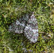 July Highflyer, Hydriomena furcata, Co Leitrim