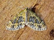Yellow-barred Brindle, Acasis viretata, Co Antrim